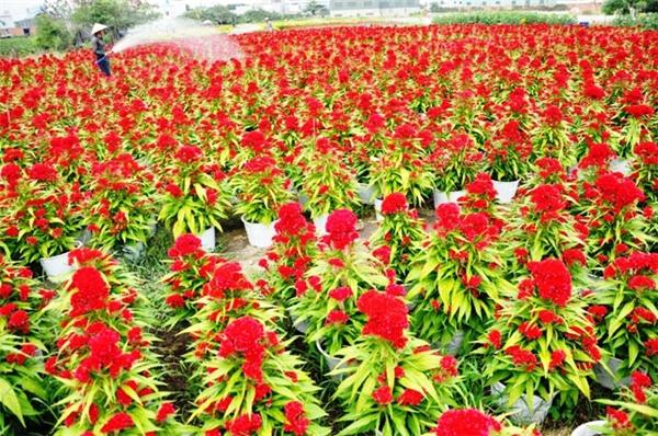 Từ sáng sớm nhiều người nông dân cư ngụ ở đườngLê Thị Riêng, quận 12, vẫn tất bật chăm sóc, tướinước, bón phân cho các chậu hoa vạn thọ, hoa cúc mâm xôi... Ảnh: Internet