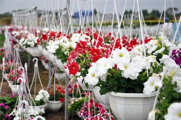 Đồng hoa Tết đẹp lộng lẫy như xứ tây giữa lòng Sài Gòn