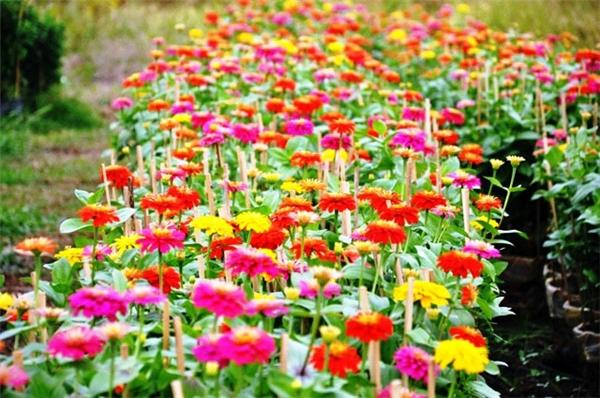Theo những người trồng hoa thì đây là giai đoạn quyết định thành bại của một vụ trồng nên mỗi ngày họphải tưới nước 3 lần. Ảnh:Internet