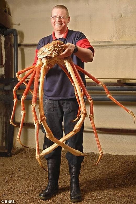 Trong khi đó, động vật chân đốt dưới nước lớn nhất là cua nhện Nhật Bản, sống tại đáy sâu ở vùng biểnThái Bình Dương. Chúng có chiều dài chân lớn nhất trong số các loài giáp xác với 3,7m, chiều dài cơ thể là 0,4m, nặng gần 13kg. (Ảnh: Internet)