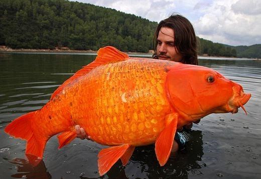 Đây là chú cá vàng lớn nhất thế giới với hơn 13,6kg, được bắt bởi anh Angler Raphael Biagini- một thợ câu cá nghiệp dư. Sau khi đo kích thước cũng như chụp ảnh kỉ niệm, anh đã thả chú cá về lại với tự nhiên. (Ảnh: Internet)