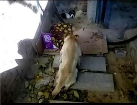 Rơi nước mắt cảnh chó mẹ trọng thương chăm sóc cho đàn con