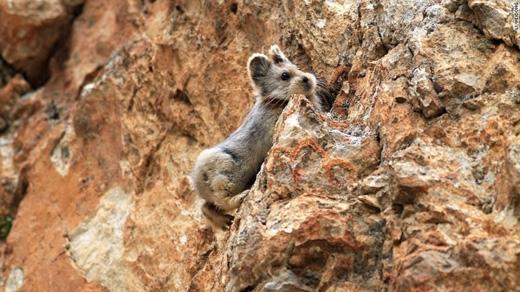Vì kích thước nhỏ bé nên chúng bị cáo, chồn và chim ăn thịt săn lùng. (Ảnh: Li Weidong)
