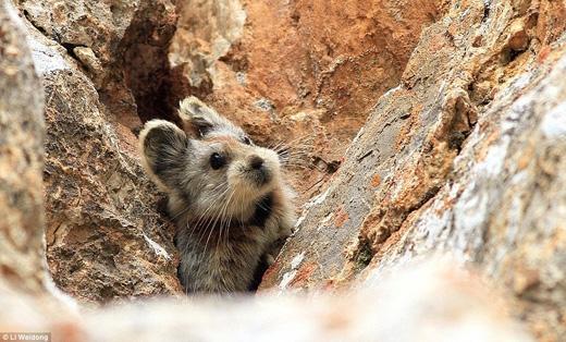 Cộng với biến đổi khí hậu và sự xâm lăng của con người, loài thỏ này đang dần tuyệt chủng. (Ảnh: Li Weidong)