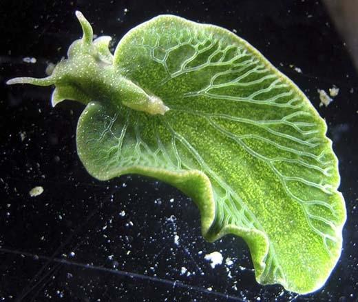 Elysia Chlorotica hay còn được gọi là Sên lá biển vì không những có hình dáng giống như chiếc lá mà cách thức sinh tồn cũng không khác gì thực vật. Loài động vật này có khả năng tự sản xuất thức ăn bằng cách quang hợp. Chúng thu nạp lục lạp bằng cách ăn tảo rồi tích trữ trong tế bào vách ruộtđể sử dụng. Bằng cách này, lục lạp tồn tại trong suốt vòng đời của chúng. (Ảnh: Internet)