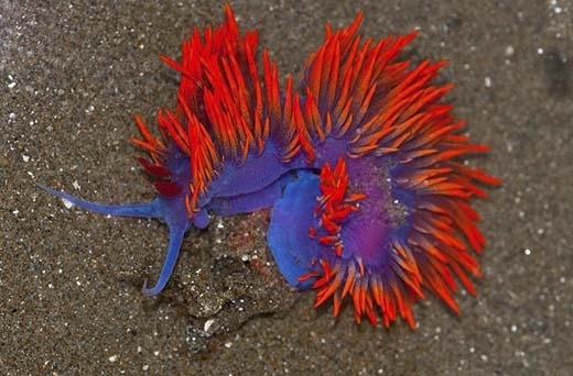 Flabellina Iodinea được mệnh danh là vũ công của đại dươngbởi hình dáng uyển chuyển và màu sắc sặc sỡ. Loài này có nguồn gốc từ phía Tây và Nam nước Mỹ. Ngoài ra nó còn được tìm thấy trong Vịnh California và quần đảo Galapagos. (Ảnh: Internet)