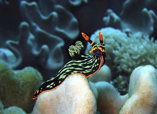 Nembrotha Kubaryana là loài sên vô cùng xinh đẹp với nhiều màu sắc chạy dọc cơ thể, nócó chiều dài trung bình lên đến 120mm. (Ảnh: Internet)