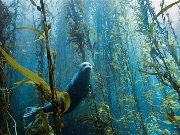 Một con hải cẩu đang bơi qua một khu rừng tảo bẹ dưới nước. Bức ảnh được chụp bởi Kyle McBurnie tại Cortes Bank gần San Diego, California.(Ảnh: Internet)