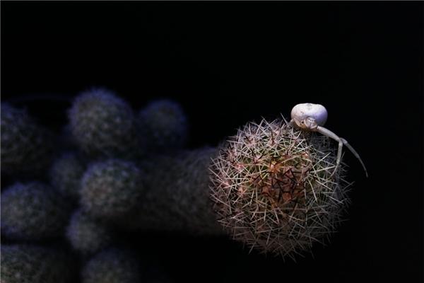 Ảnh được chụp bởi Alberto Gaytán MTZ. Cua nhện bạch tạng đang bò trên cây xương rồng ở Nuevo León, Mexico.(Ảnh: Internet)
