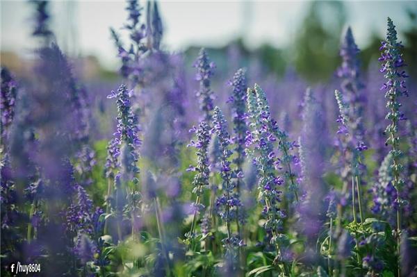 Thoạt nhìn, bạn có nghĩ rằng đây là một vườn hoa oải hương nức tiếng ở Provence, Pháp? (Ảnh: Nguyễn An Huy)