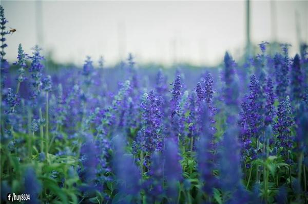 Phát hiện đồng hoa tím như đưa bạn đến miền quê nước Pháp ngay-và-luôn