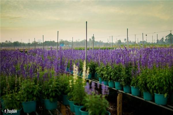 Hoa xác pháo xanh đẹpmơ màng ở Biên Hòa.(Ảnh: Nguyễn An Huy)