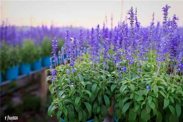 Được biết,vườn hoa này được trồngđể phục vụ đường hoa dịp Tết của thành phố Biên Hòa.(Ảnh: Nguyễn An Huy)