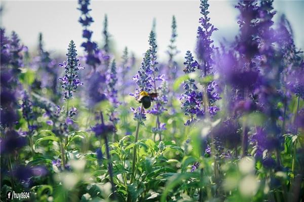 Xác pháo xanh không khác hoa oải hương là bao.(Ảnh: Nguyễn An Huy)