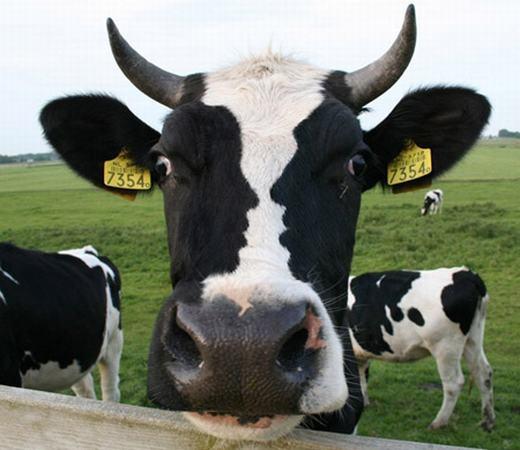 Hình như giữa trán chú bò có gì đó không ổn? (Ảnh: Internet)