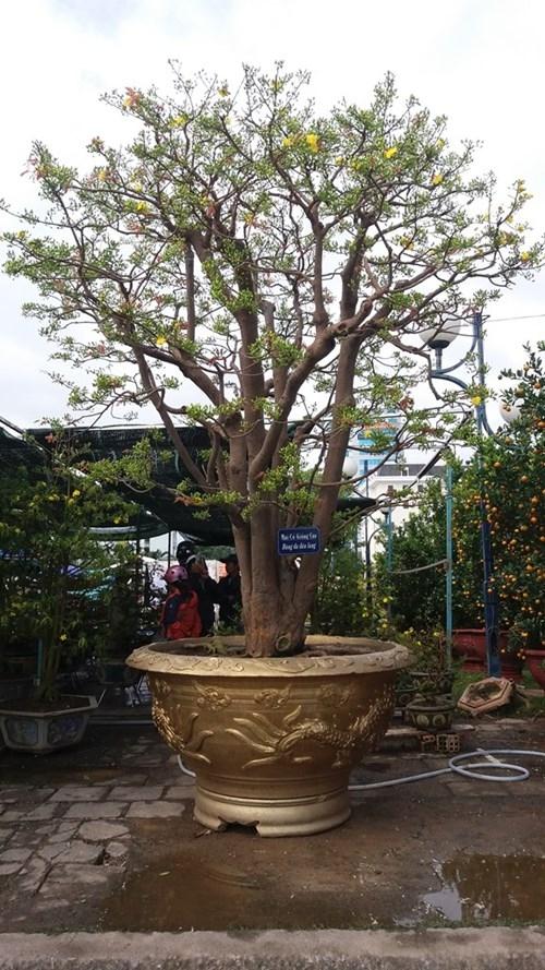 Đó là cây mai của anh Trương Hoài Phong (ngụ Gia Lai). Cây mai này đang được chưng tại chợ hoa xuân trước Quảng trường 2 tháng 9 (Đà Nẵng). Ảnh: Internet