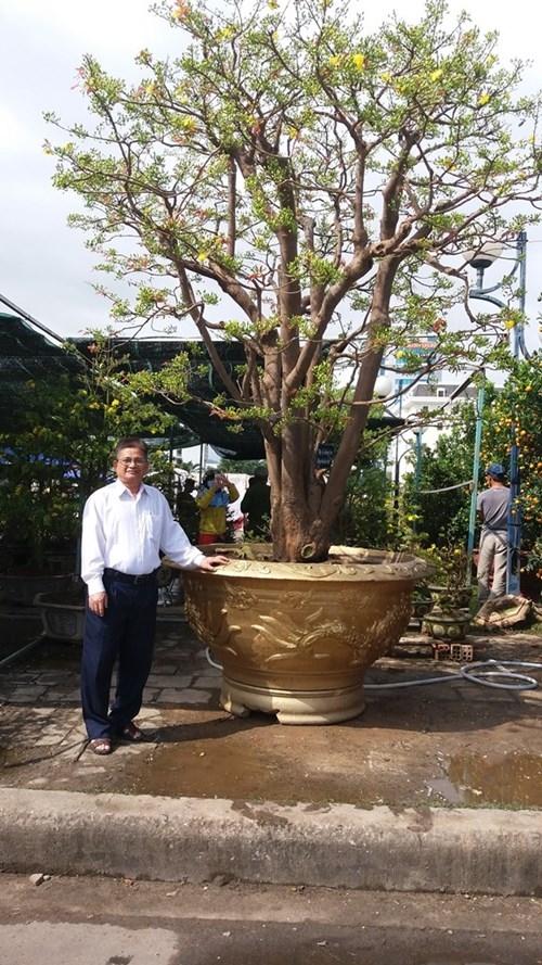 Anh Trương Hoài Phong cho biết, cây mai được xe tải chở từ Gia Lai xuống Đà Nẵng và phải thuê xe cẩu chứ sức người không khiêng nổi. Ảnh: Internet