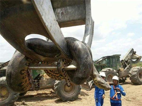 Con rắn có kích thước rất lớn... (Ảnh: Internet)