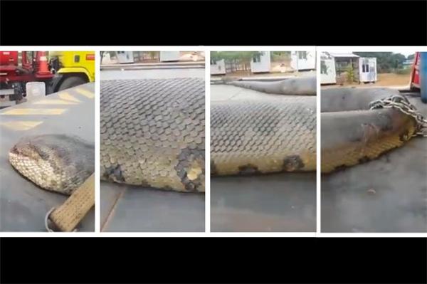 Cận cảnh con rắn được cho là lớn nhất thế giới hiện tại. (Ảnh: Internet)