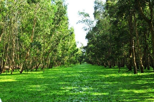 Màu xanh tươi mát của rừng tràm Trà Sư. (Ảnh: Internet)
