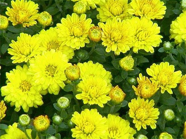 Chơi hoa nào ngày Tết để thêm tài lộc?