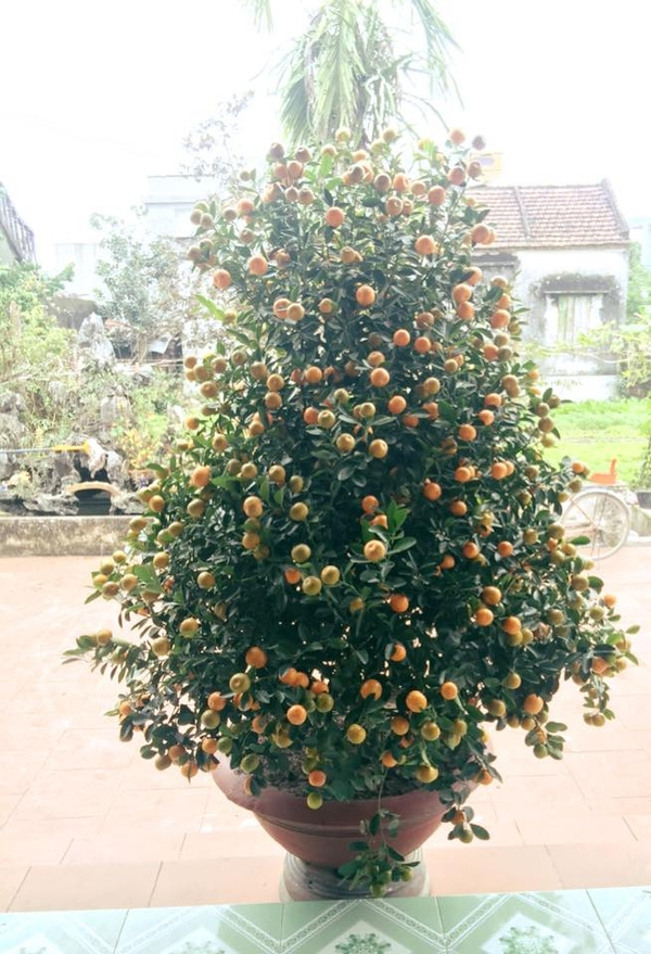 Những cây to, cao và nhiều quả như thế này được cho rằng sẽ mang lại tài lộc cho gia chủ.(Ảnh: Internet)