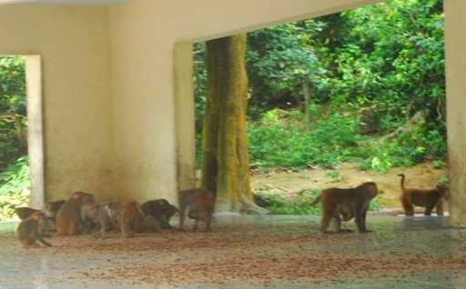 Đó chính là công việc của những người phụ nữ trên đảo khỉ này. Công việc hàng ngày của những mỹ nhân gánh đồ ăn như cơm, hoa quả để nuôi đàn khỉ trên đảo. Và như thế những con khỉ được nuôi theo kiểu bán tự nhiên cứ vô tư đùa giỡn vẫn có thức ăn đầy đủ và chăm sóc kĩ lưỡng. Ảnh: Internet