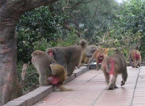 Theo những người làm việc trên đảo khỉ này cho biết, khỉ cũng có đủ các trạng thái ái ố hỉ nộ như con người, và tình yêu giữa khỉ với khỉ thật mãnh liệt mà chắc chẳng còn loại vật nào trên đời có thể sánh được. Ảnh: Internet