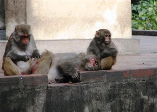 Cảm động chuyện những mỹ nhân gánh thức ăn cho khỉ
