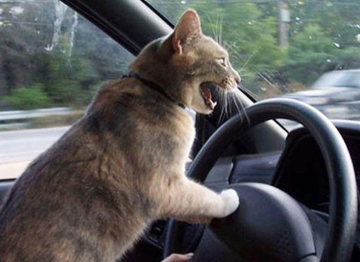 """""""Tránh ra, tránh ra... ta đang tập lái ô tô!"""". (Ảnh: Internet)"""