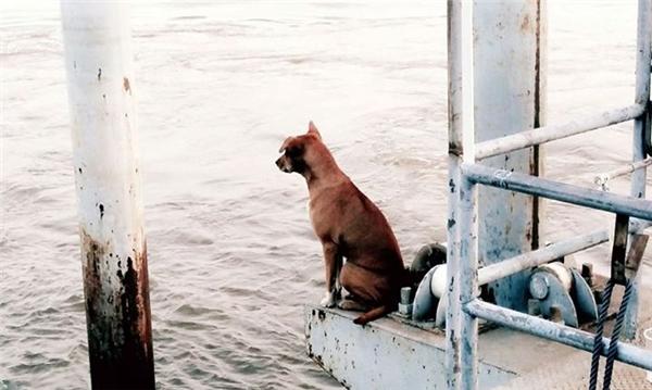 Chúchó đợi chủ quay về đón mình ở bến tàu. (Ảnh: Internet)