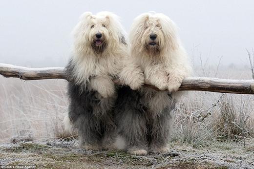 Hai cô chó đáng yêu luôn chơi đùa và làm dáng với nhau như chị em sinh đôi. (Ảnh: Internet)