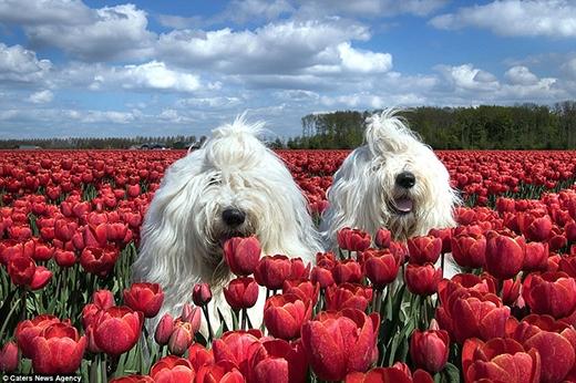 """Không gì hạnh phúc hơn là hai """"người đẹp"""" được thư giãn giữa đồng hoa tulip lãng mạn. (Ảnh: Internet)"""