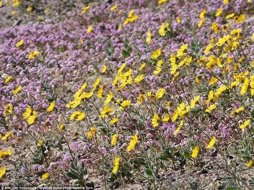 Tuy nhiên, toàn sa mạc bỗng nở hoa ngay những ngày đầu của tháng 2/2016. (Ảnh: DVNP)