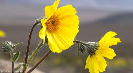 """Thung lũng Chết """"hồi sinh"""" nhờ những đóa hoa này. (Ảnh: DVNP)"""