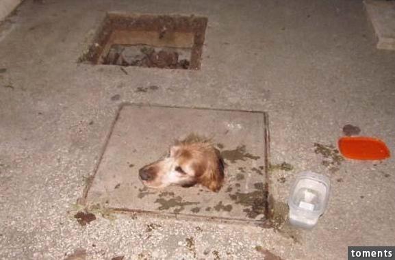 Chú chó đang mắc kẹt đước một cái hầm trong đau đớn. (Ảnh: Internet)