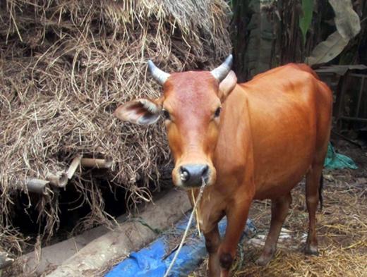 Được biết trước đây bò mẹ đã từng sinh một lứa và mọi chuyện diễn ra rất bình thường.Bò mẹ sau khi sinh con xong thì sức khỏe cũng dần ổn định. (Ảnh: H.T)