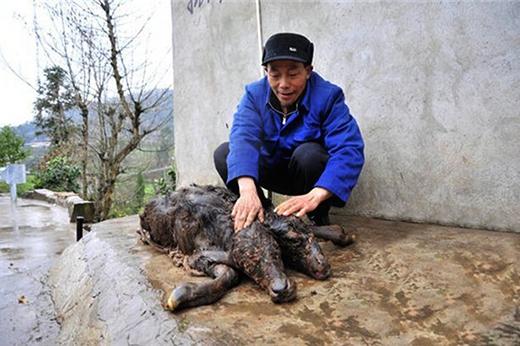Ông Cam Viễn Hoa cùng con bê chết lúc mới sinh của mình. (Ảnh: Internet)