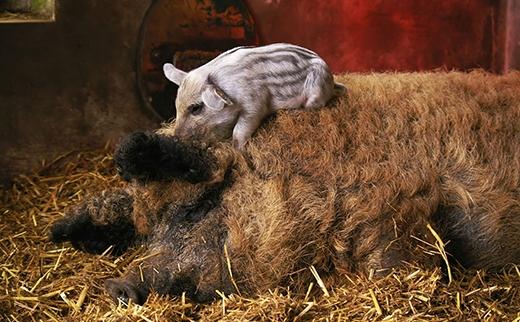 Lợn con bé xíu nằm sưởi ấm trên người mẹ. (Ảnh: Internet)