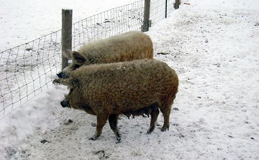 Chúng có thể sống tốt trong môi trường lạnh và có tuyết, nhưng cũng cần một khu chuồng để trú qua đêm. (Ảnh: Internet)