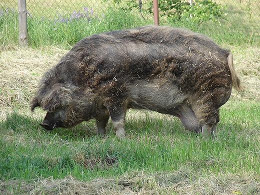 Lợn đực cũng rất hiền lành và không làm phiền lợn cái trong lúc sinh nở, chăm con. (Ảnh: Internet)