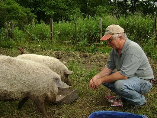 Một số người nuôi chúng làm kiểng nhưng đây vẫn là giống lợn thịt. (Ảnh: Internet)