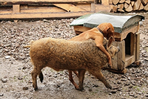Loài lợn này rất thân thiện và quấn người, cũng không cần chế độ chăm sóc gì đặc biệt. (Ảnh: Internet)