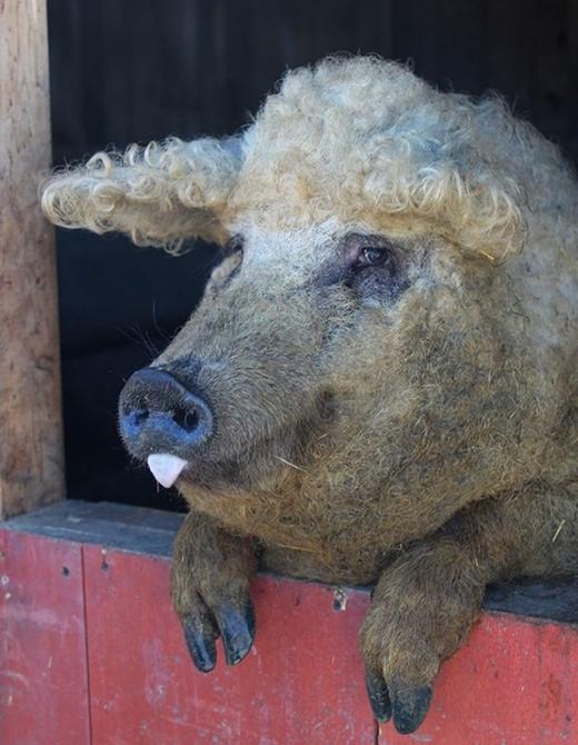 Loài lợn này cũng rất biết tự giác và thích tự sục sạo thức ăn. (Ảnh: Internet)