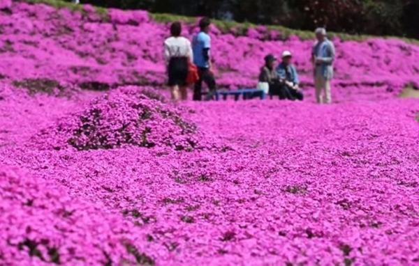 """Hàng năm, cứ mỗi độ xuân về, """"vương quốc hoa hồng"""" lại thu hút hàng ngàn lượt du khách đến thăm. (Ảnh: Internet)"""