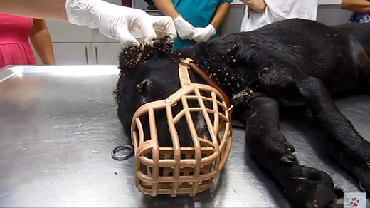Hàng ngàn con ve bu đầytai trong của con chó khốn khổ này. (Ảnh: Internet)