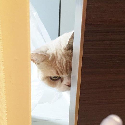 Twitter của chủ nhân chú mèo này được 43 nghìn người theo dõi sau khi những bức ảnh ngộ nghĩnh của Koyuki được đăng tải.(Ảnh: Internet)