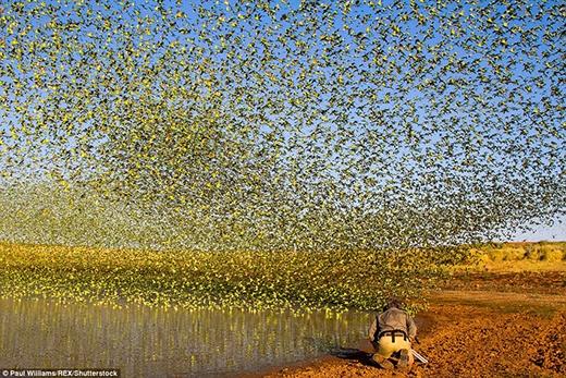 Cảnh tượng choáng ngợp khi 80.000 con vẹt đuôi dài phủ kín cả bầu trời. (Ảnh: Paul Williams)