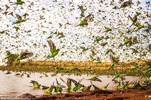 Bầy vẹt này tụ tập, chen chúc nhau tại một hồ uống nước đang cạn kiệt ở Úc. (Ảnh: Paul Williams)