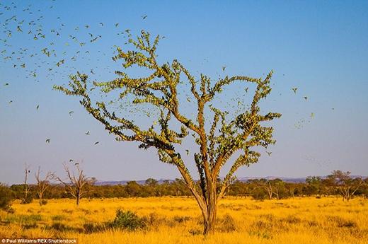 80.000 con vẹt tụ lại một hồ uống nước trong tình trạng tuyệt vọng. (Ảnh: Paul Williams)